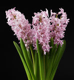 Hyacinth Stock Images