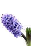 Hyacinth Stock Photos