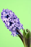 Hyacinth Stock Photography