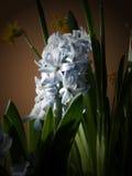 Hyacinth. Blue hyacinth Royalty Free Stock Photos
