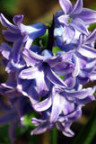 Hyacinth. Spring flowers in my garden. Solar May day Royalty Free Stock Photography