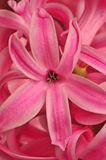 Hyacinth. A close-up of hyacinth blossom. Suitable as background Royalty Free Stock Images
