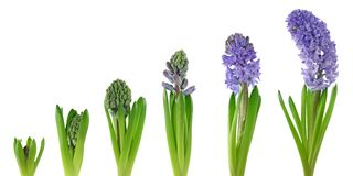 Hyacinth Fotografia de Stock Royalty Free