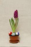 Hyacinth 8 Royalty Free Stock Photography