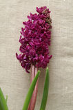 Hyacinth 8 Royalty Free Stock Image