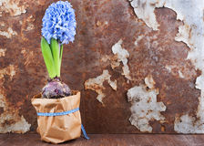 Spring mood. Hyacinth against old rusty iron background Royalty Free Stock Images