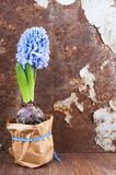 Spring mood. Hyacinth against old rusty iron background Stock Photo