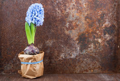 Spring mood. Hyacinth against old rusty iron background Stock Images