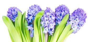 Hyacinth azul Fotos de Stock