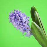 Hyacinth azul Fotos de Stock Royalty Free