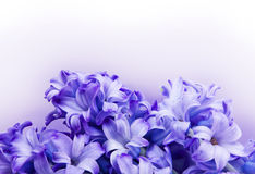 Hyacinth background with clipping path Royalty Free Stock Image