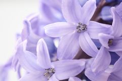 Hyacinth, background texture, flowers Royalty Free Stock Images