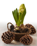 Hyacinth in basket and cones Stock Image