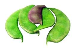 Hyacinth Bean Immagini Stock