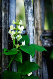 Hyacinth Bean Flower Stock Fotografie