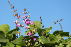 Hyacinth bean Stock Photography