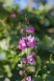 Hyacinth bean Royalty Free Stock Image