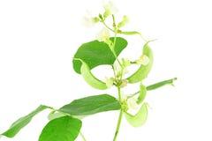 Hyacinth bean valor or indian papdi beans on white background. Fresh Hyacinth bean valor or indian papdi beans on white background Royalty Free Stock Photos