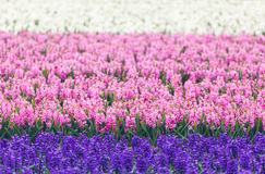 Hyacinth. Beautiful colorful pink, blue and white hyacinth flowers in spring garden, colorful floral background, flower fields Royalty Free Stock Photography