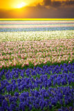 Hyacinth. Beautiful colorful pink, white, yellow and blue hyacin Stock Photography