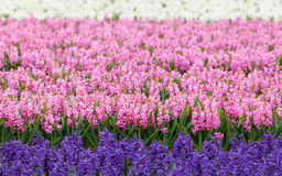 Hyacinth. Beautiful hyacinth flowers in spring garden, vibrant floral background Royalty Free Stock Images