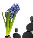 Hyacinth with black stones Royalty Free Stock Photo
