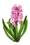 Hyacinth Blooming Stock Photography