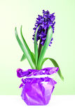 Hyacinth blossom Stock Photos