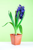 Hyacinth blossom in pot Royalty Free Stock Photography