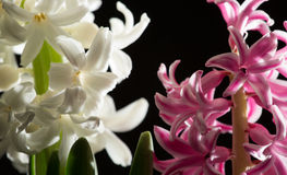 Hyacinth blossom, very beautiful, close-up Stock Images