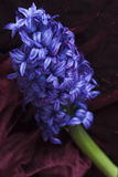 Hyacinth blue Flower Royalty Free Stock Images