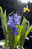 Hyacinth BLUE JACKET And Daffodil Royalty Free Stock Photo