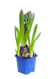 The hyacinth in a blue pot Royalty Free Stock Photos