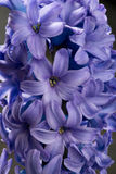 Hyacinth blue purple flower closeup macro on black Royalty Free Stock Photos