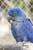 Hyacinth Blue Wing Macaw In Cage Royalty Free Stock Photo