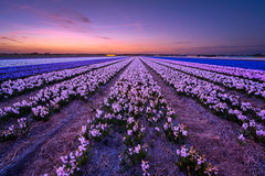 Hyacinth Blues. Taken waaay after sunset a blue hour shot of the awesome flowerfields of Noordwijkerhout, the Netherlands Stock Image