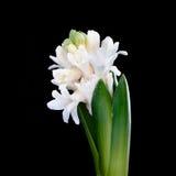 Hyacinth branco Fotografia de Stock Royalty Free