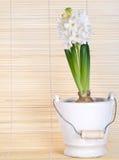 Hyacinth branco Fotografia de Stock