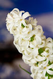 Hyacinth branco da pérola sobre o fundo da natureza Fotografia de Stock