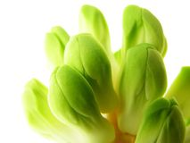 Hyacinth bud Stock Photo
