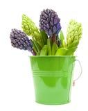 hyacinth buds Royalty Free Stock Photos