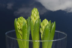Hyacinth buds and clouded blue sky Stock Images