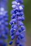 Hyacinth Buds Murine Imagen de archivo libre de regalías