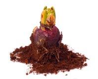 Free Hyacinth Bulb Royalty Free Stock Photography - 18537767