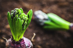 Hyacinth bulb Royalty Free Stock Image