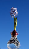 Hyacinth Bulb in bloom. Blue Hyacinth Bulb in bloom in glass vase against blue sky Royalty Free Stock Image