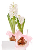 Hyacinth bulb and flower Stock Image