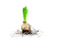 Hyacinth Bulb med rotar Royaltyfri Foto