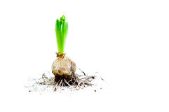Hyacinth Bulb with Roots Royalty Free Stock Photo