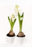 Hyacinth bulbs Royalty Free Stock Photos